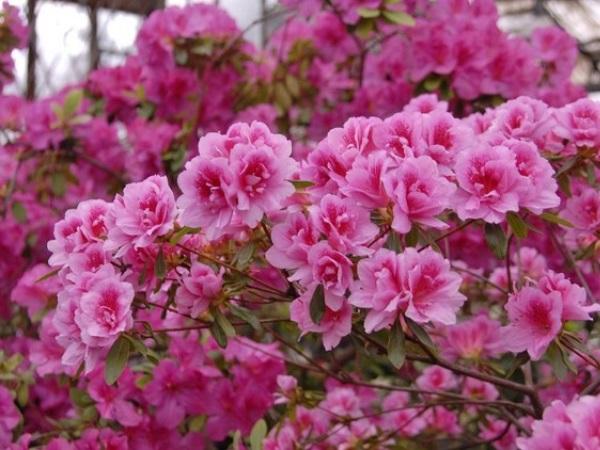 Азалия садовая: популярные сорта, выбор саженца, посадка и ...