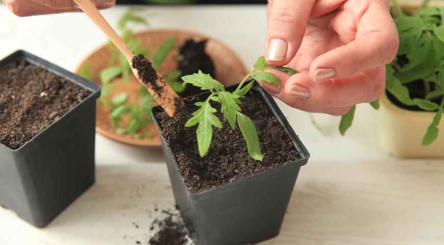 рассада свеклы выращивание в домашних условиях сроки