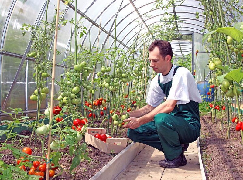 помидоры в теплице схема