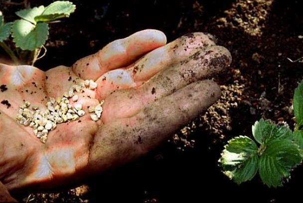проращивание клубники из семян