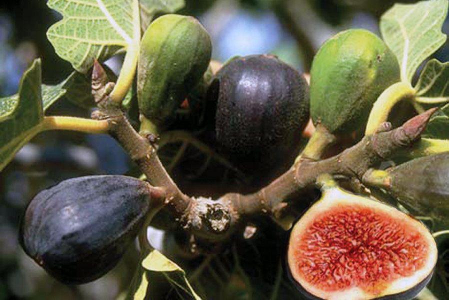 полив инжира в открытом грунте