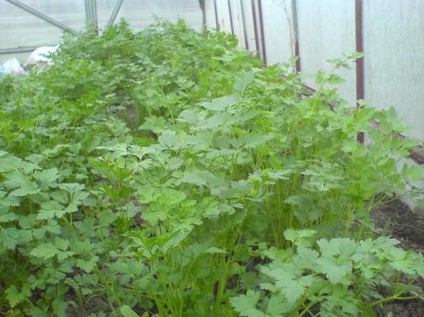 бизнес выращивание зеленого лука в теплице