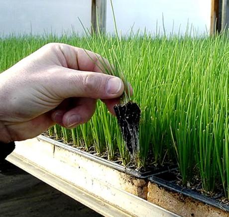 выращивать зелень в теплице как бизнес