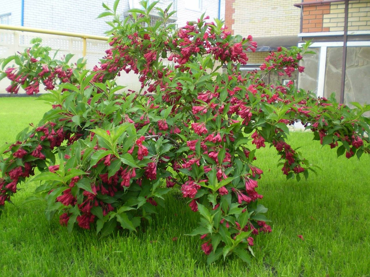 кусты для сада и огорода многолетники