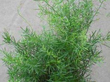 Аспарагус из семян
