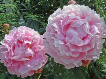 цветы пионы на фото
