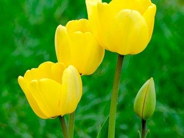 желтые тюльпаны, фото