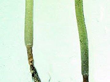 Черная ножка цветной капусты