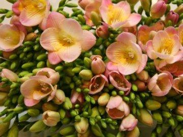 Фрезии розовые