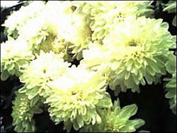 хризантемы на фото