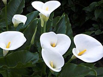 почему калла не цветет