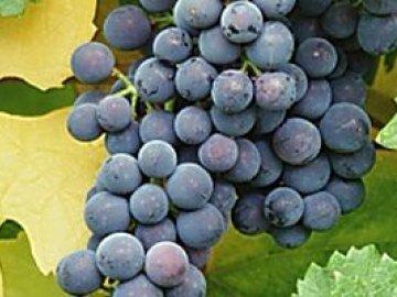 как рассадить виноград