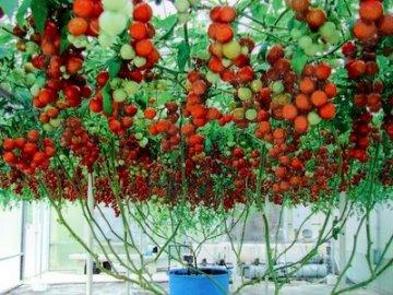 фото помидоры спрут