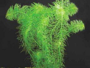 водное растение элодея