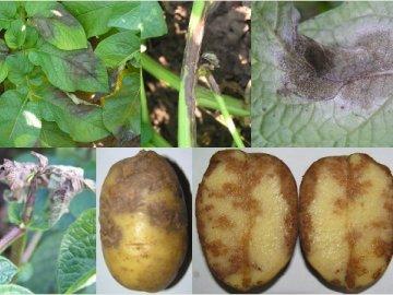 картофель фитофтороз