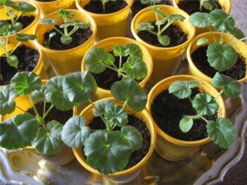 вегетативное разведение пеларгонии