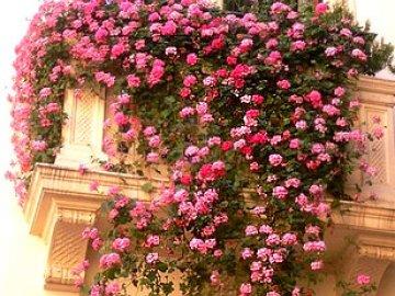 растения для озеленения балкона