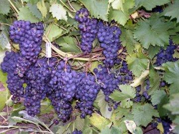 урожайность винограда после пересадки