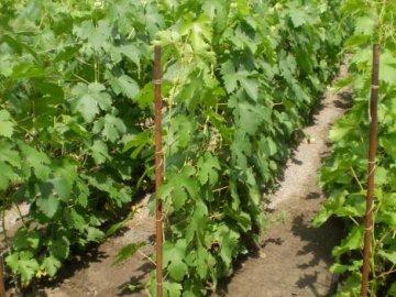 стоит ли пересаживать взрослый виноград