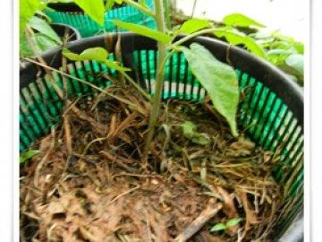 ранний урожай помидоров