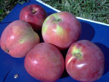 выращивание яблонь