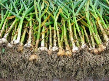 как посадить чеснок