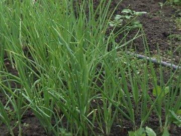 выращивание лука в домашних условиях