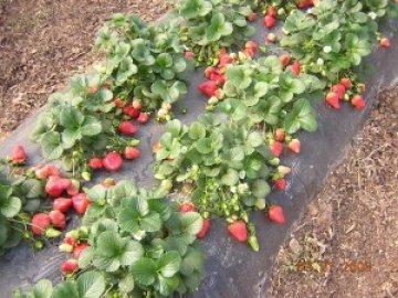 идеи домашнего бизнеса, выращиваем клубнику