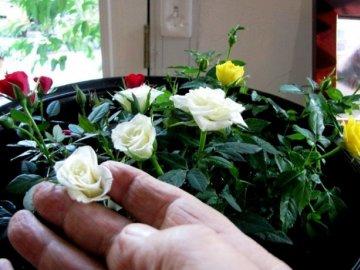 Как и когда обрезать розу?