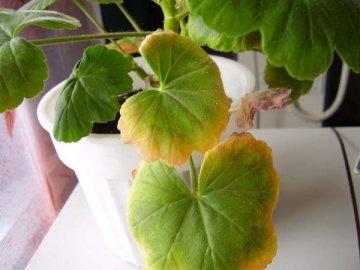 Возможные проблемы при выращивании герани