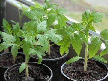Советы по выращиванию рассады овоща