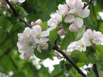 Вегетационный период плодовых деревьев