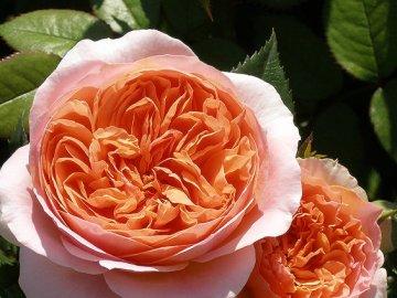 Преимущества выращивания розы, отзывы