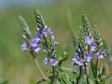Медицинские свойства растения