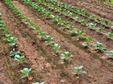 Посадка семян брокколи в открытый грунт