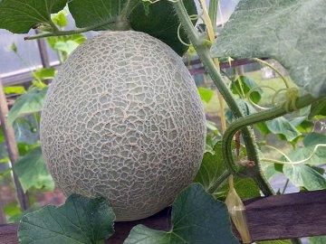 Условия выращивания и уход за дыней в теплице