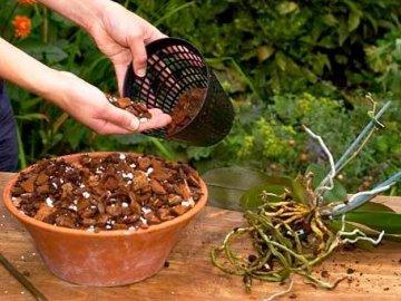 Пересадка и обрезка орхидеи