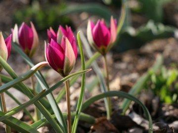 Тюльпаны карликовые