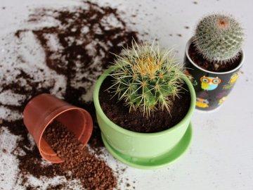 Посадка кактусов: основные правила