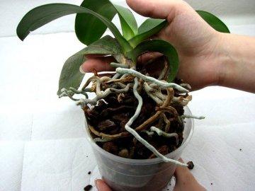 Пересаживание орхидеи