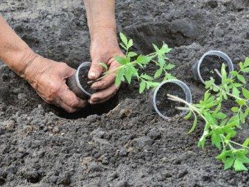 Когда и как пересаживать томаты в грунт?