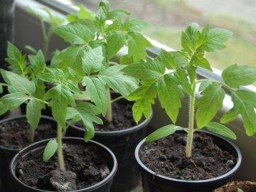 Особенности ухода за рассадой до высадки в грунт