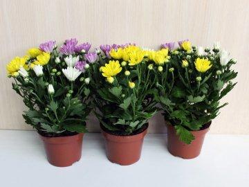 Как подкармливать хризантему?