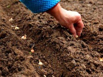 Способы размножения, посадка в открытый грунт