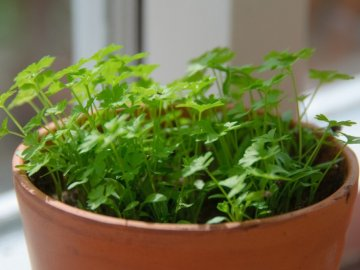 Методы культивирования зелени петрушки