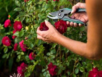 Обрезка кустов роз