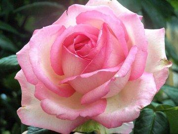 Что такое корнесобственные розы и в чем их преимущества