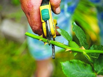 Как правильно размножать и сажать корнесобственные розы