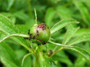 Вредители, которые не дают цвести пиону и борьба с ними