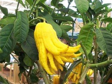 Выращивание дома цитрона
